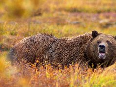 Grizzly Bear in Denali National Park Alaska