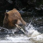 Alaska-Waters-bear-Br.b.fish