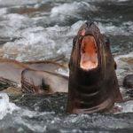 alaska-fjordlines-seals
