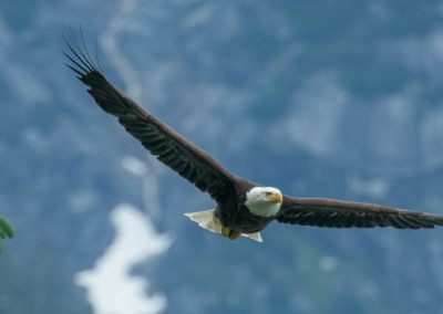 bald-eagle-haines-alaska