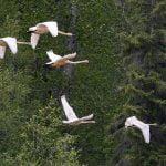 haines-alaska-trumpeter-swans
