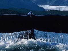 alaska-fjordlines-whale-tail