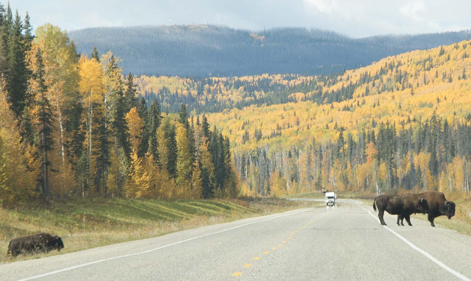 Bison on the Alaska Highway