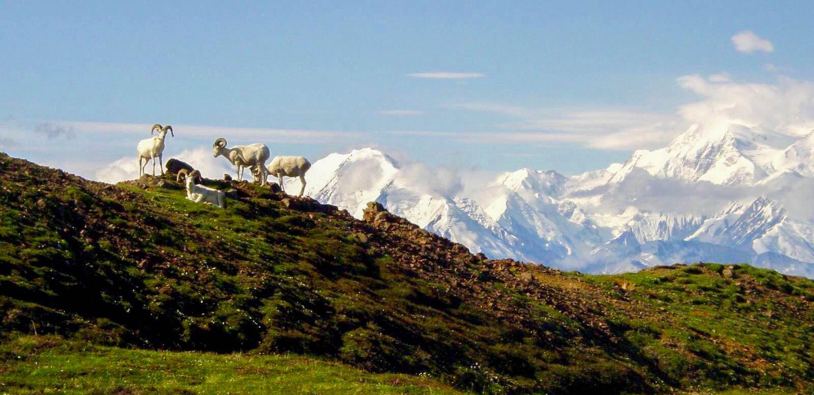 Dall Sheep with Denali Mountain