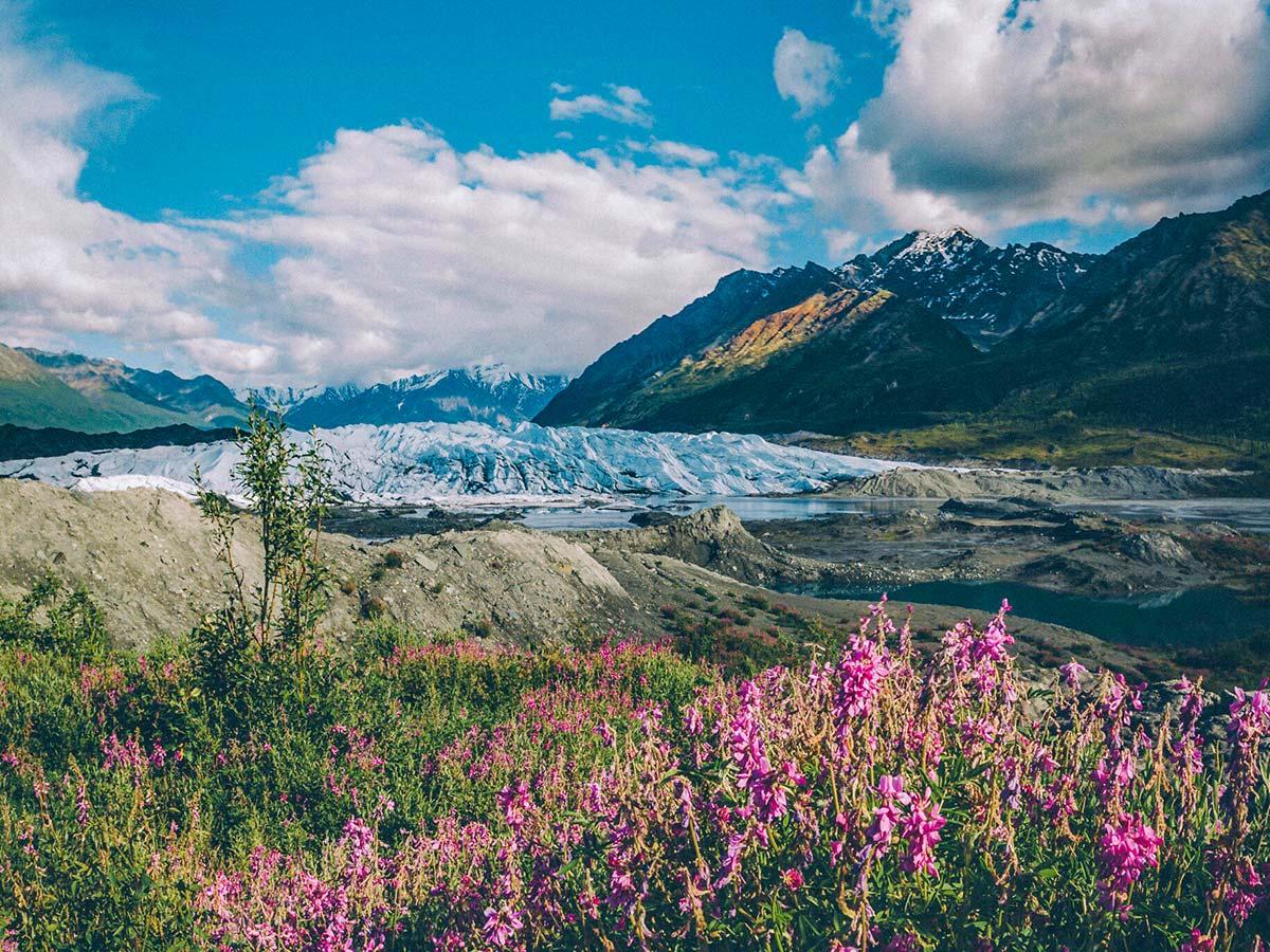 Matanuska Glacier with Fireweed in the foreground seen along the Glenn Highway, Alaska